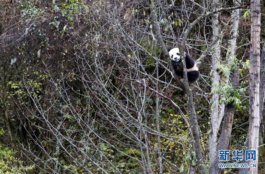 (社会)(2)甲勿海大熊猫保护研究园开园
