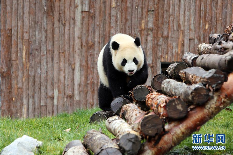 (社会)(3)甲勿海大熊猫保护研究园开园