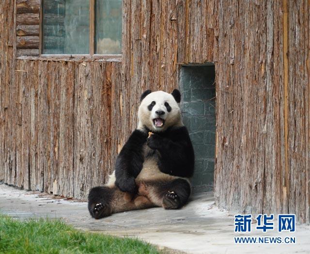 (社会)(4)甲勿海大熊猫保护研究园开园