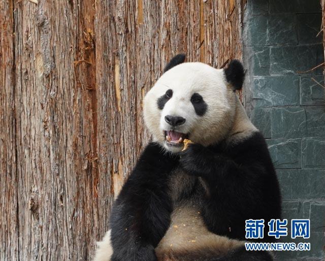(社会)(5)甲勿海大熊猫保护研究园开园