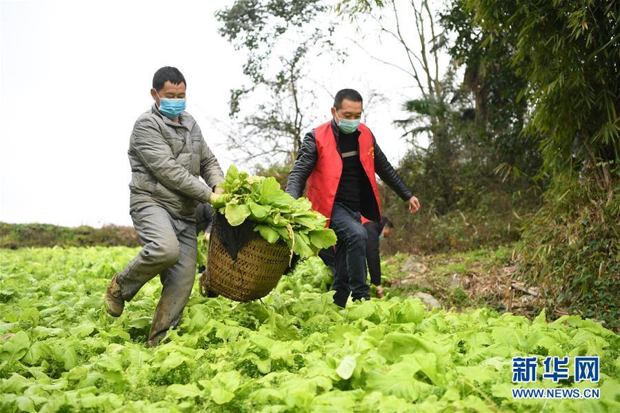 (聚焦疫情防控)(2)重慶:疫情下的鄉村蔬菜配送小隊