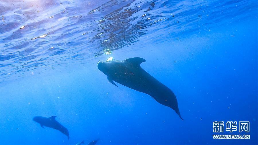 (环境)(3)科研人员在南海记录短肢领航鲸与弗氏海豚混游现象