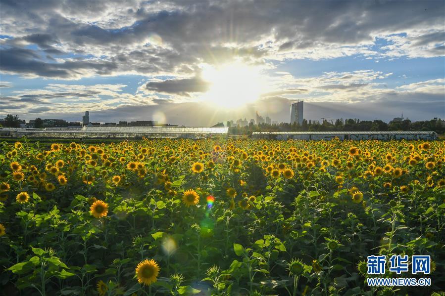 (国际)(2)法兰克福:向日葵盛开