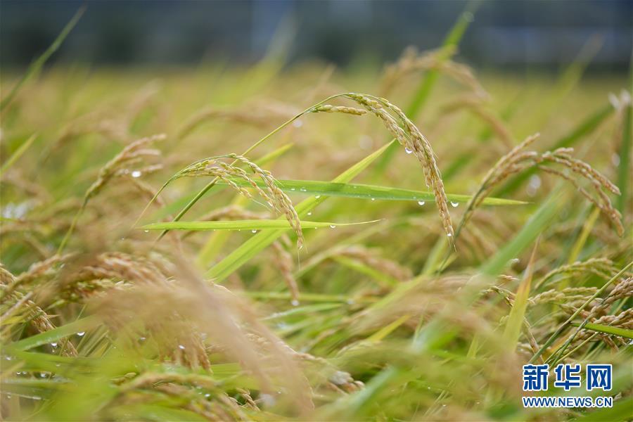 (經濟)(1)吉林延邊:稻谷飄香 收獲在望