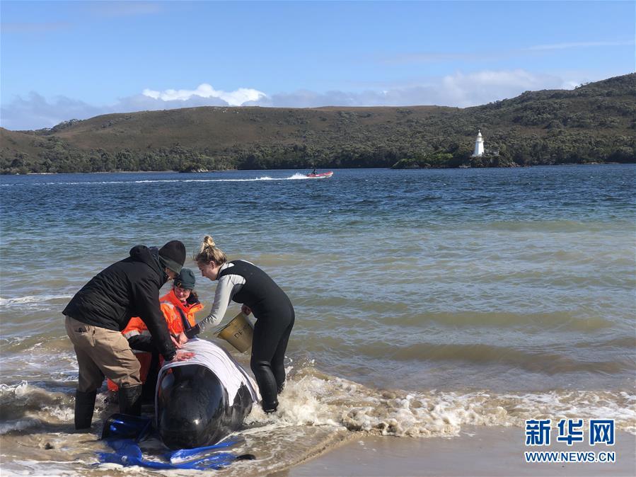 (国际)(2)澳大利亚塔斯马尼亚州西海岸发生大规模鲸鱼搁浅