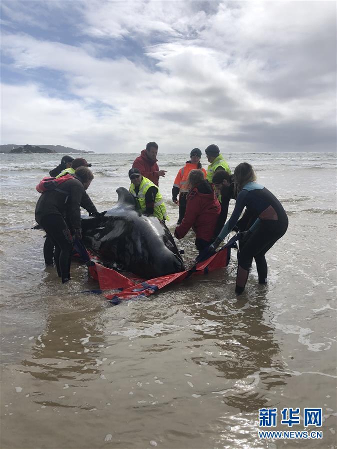 (国际)(4)澳大利亚塔斯马尼亚州西海岸发生大规模鲸鱼搁浅