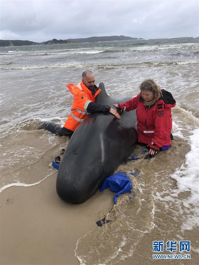 (国际)(5)澳大利亚塔斯马尼亚州西海岸发生大规模鲸鱼搁浅