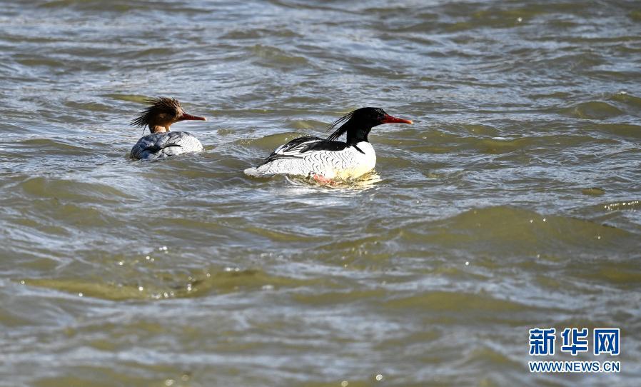 陕西洛南:秦岭深处游弋的中华秋沙鸭