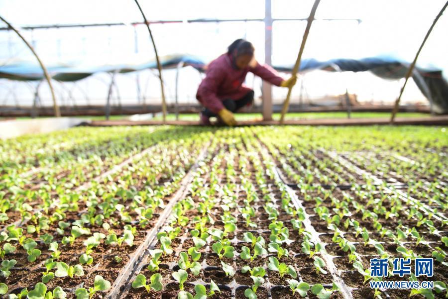 河南济源:蔬菜制种育苗忙