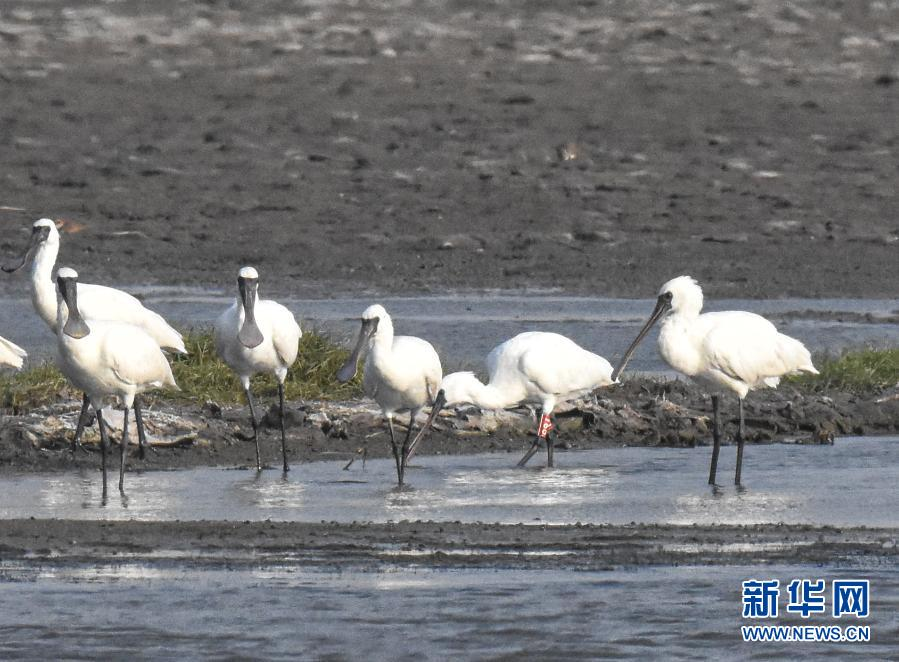 珍稀鸟类黑脸琵鹭现身海南莺歌海盐场