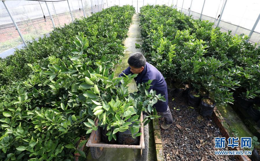 助农增收!湖南资兴:免费发放约4万株果树苗