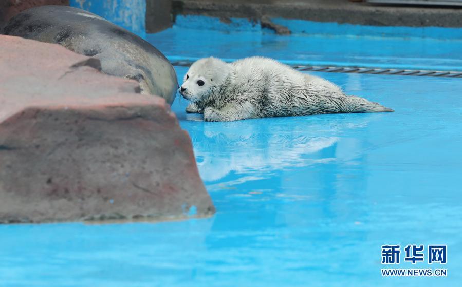喜讯!上海:海洋公园迎牛年斑海豹宝宝