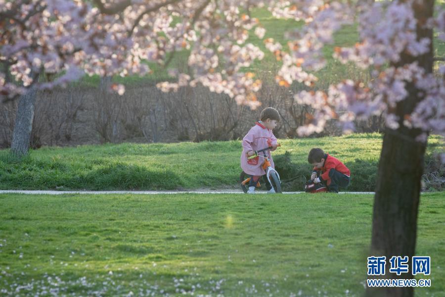 西班牙马德里:樱花盛放 美不胜收