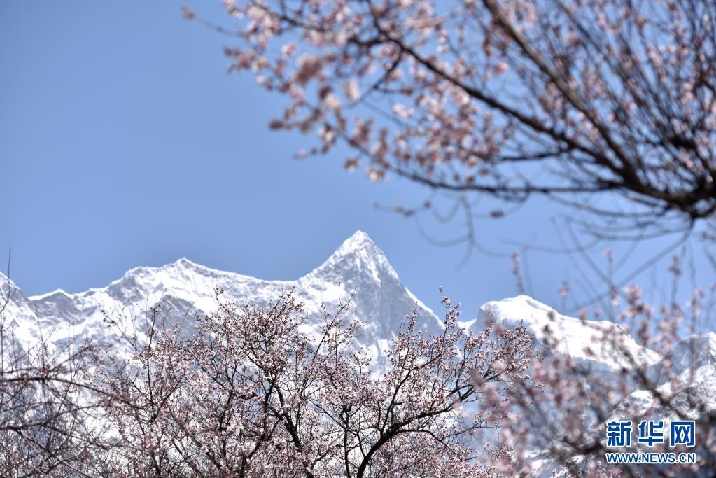 西藏:林芝桃花次第开