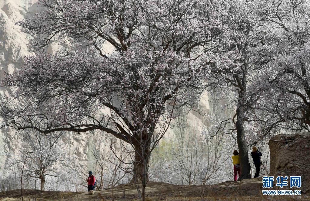 帕米尔高原:杏花绽放引客来