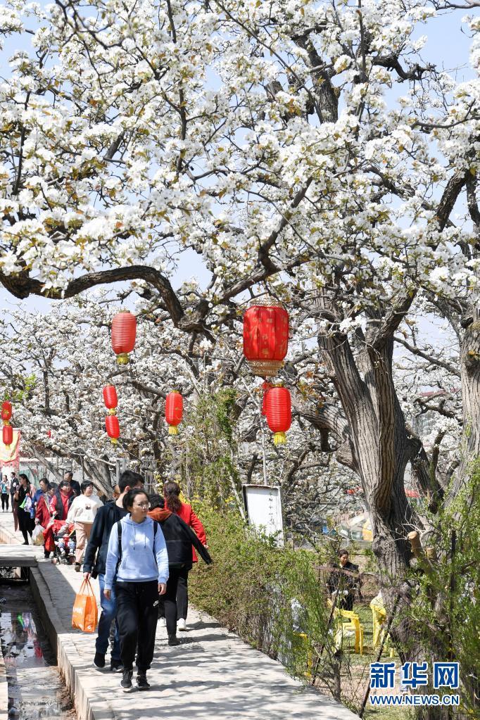 甘肃兰州:梨园花开引客来
