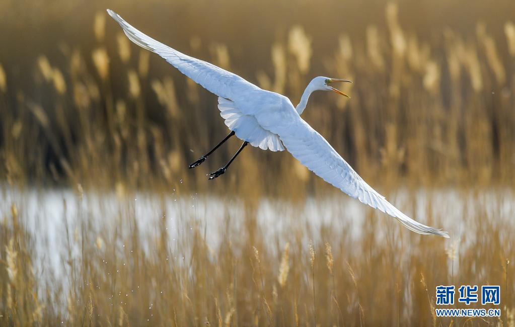 内蒙古:大批候鸟飞抵居延海
