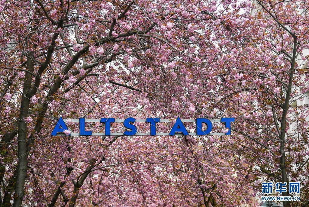 德国波恩:樱花盛开引游人