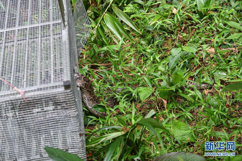 海南:国家重点保护野生动物放归自燃