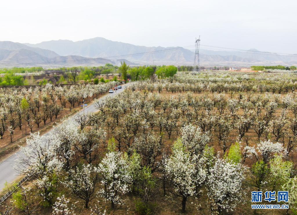 山西原平:梨园花开引客来
