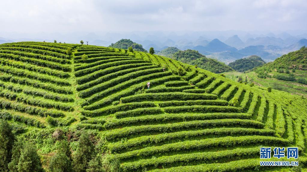 贵州六盘水:谷雨时节采茶忙