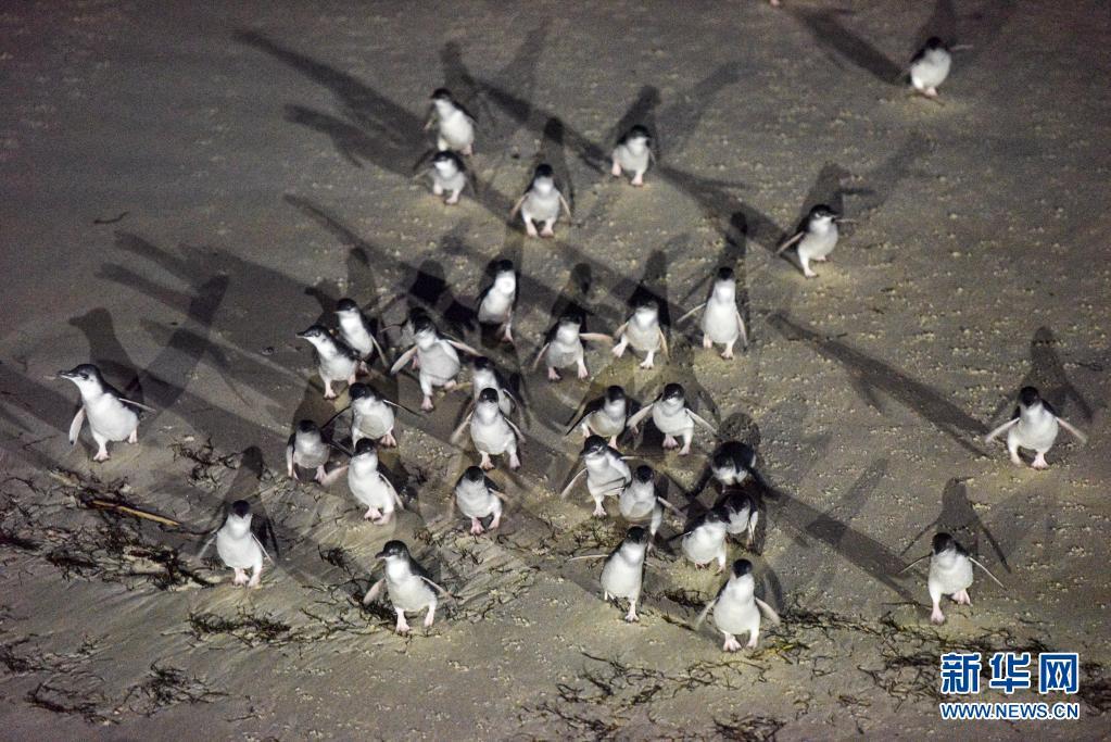 世界企鹅日|新西兰达尼丁:夜探小蓝企鹅归巢路