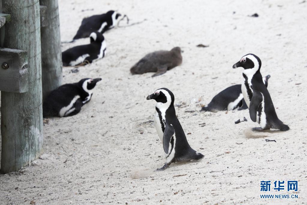 世界企鹅日|南非:沙滩上的非洲企鹅