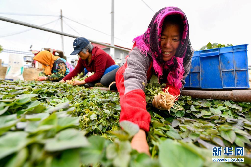 一村一品!河北滦州:薯炕育秧促增收