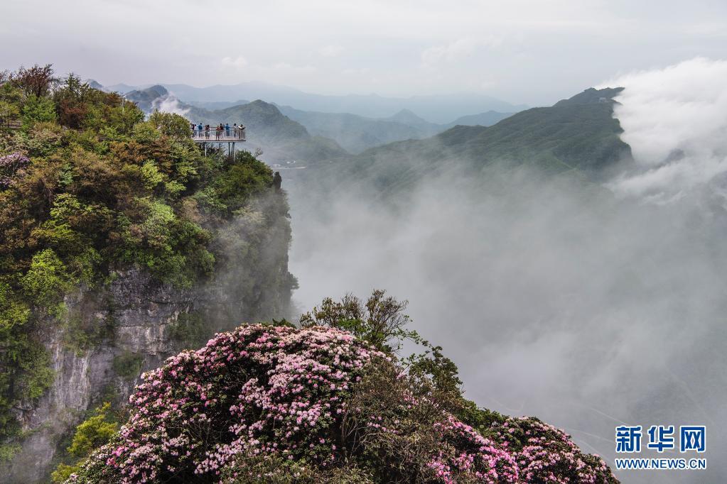陕西龙头山:云中杜鹃更娇美