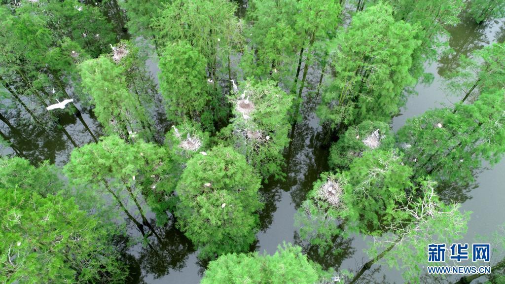 水上森林!鸟类天堂池杉湖
