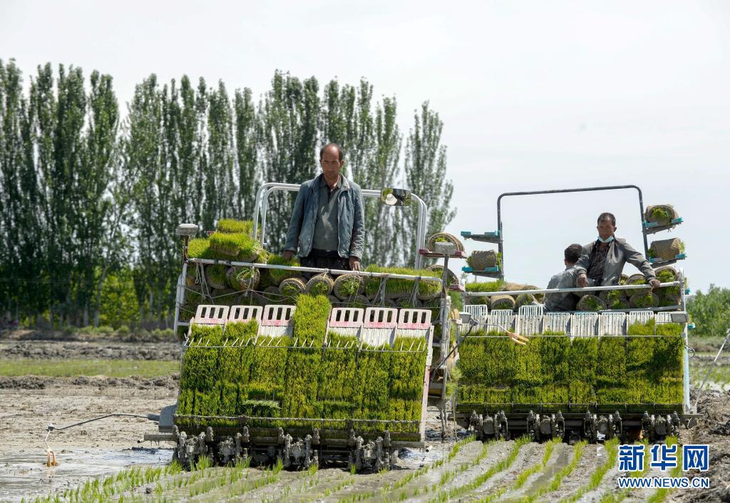 新疆:天山脚下忙插秧