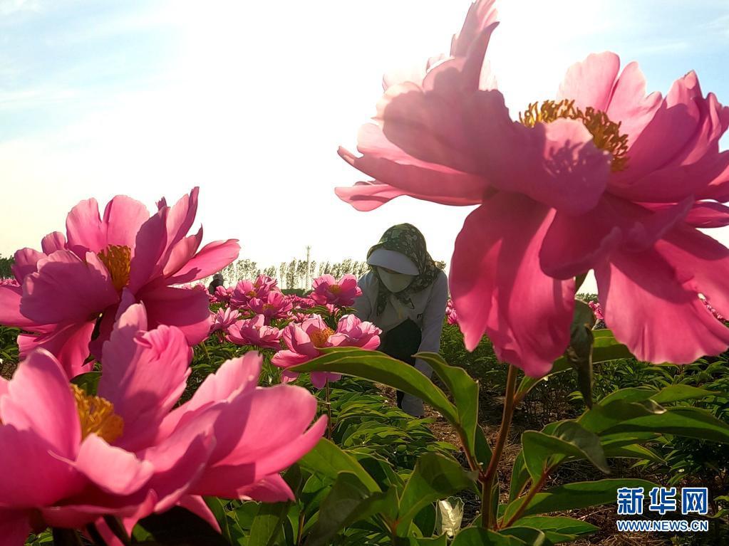 河北唐山:花开致富路