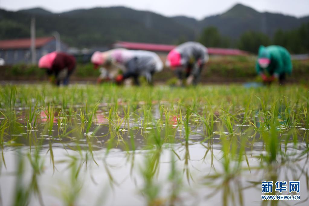 河北隆化:水稻插秧忙