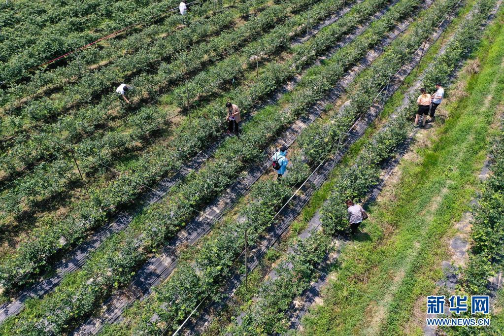 农旅融合!江苏溧阳:小蓝莓 大产业