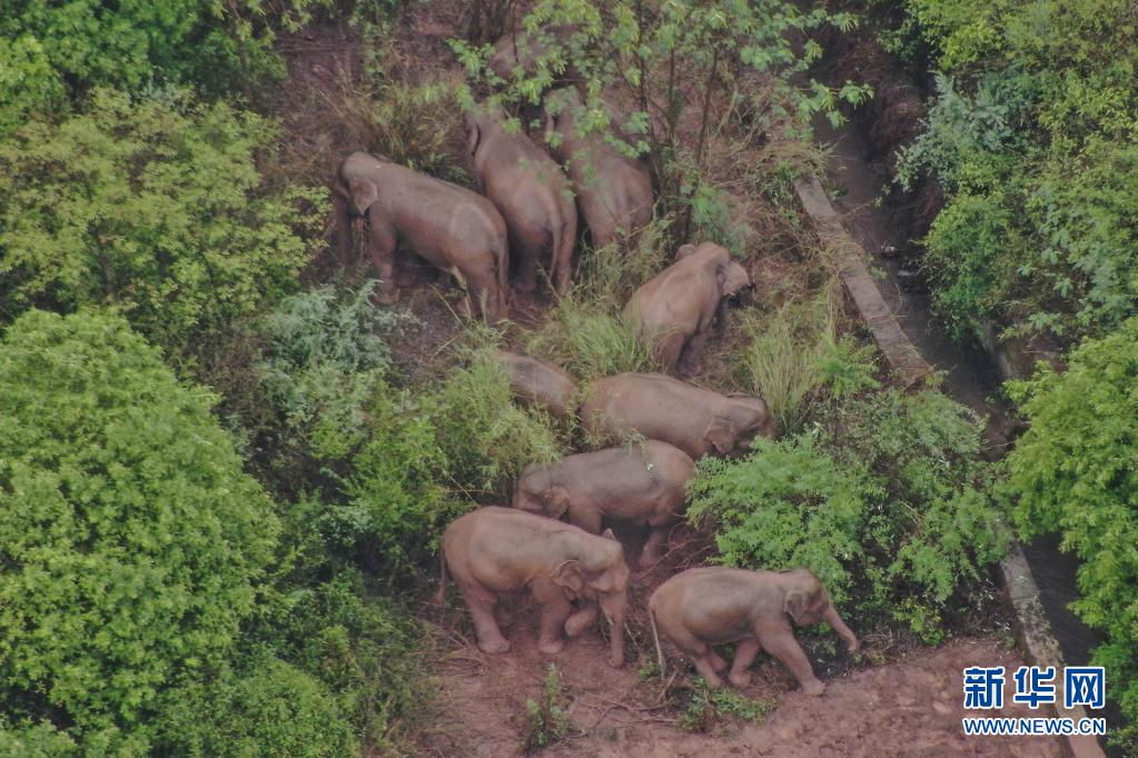 云南北迁亚洲象群在玉溪市易门县小范围迂回迁移 人象平安