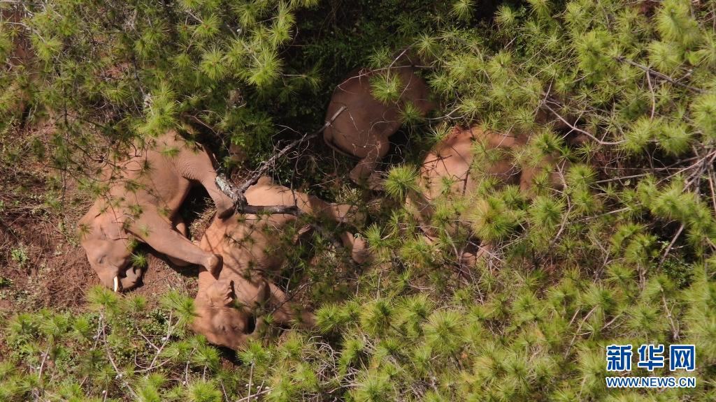 云南北迁亚洲象群持续在玉溪市易门县活动