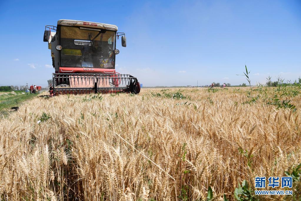 宁夏石嘴山:小麦开镰收割