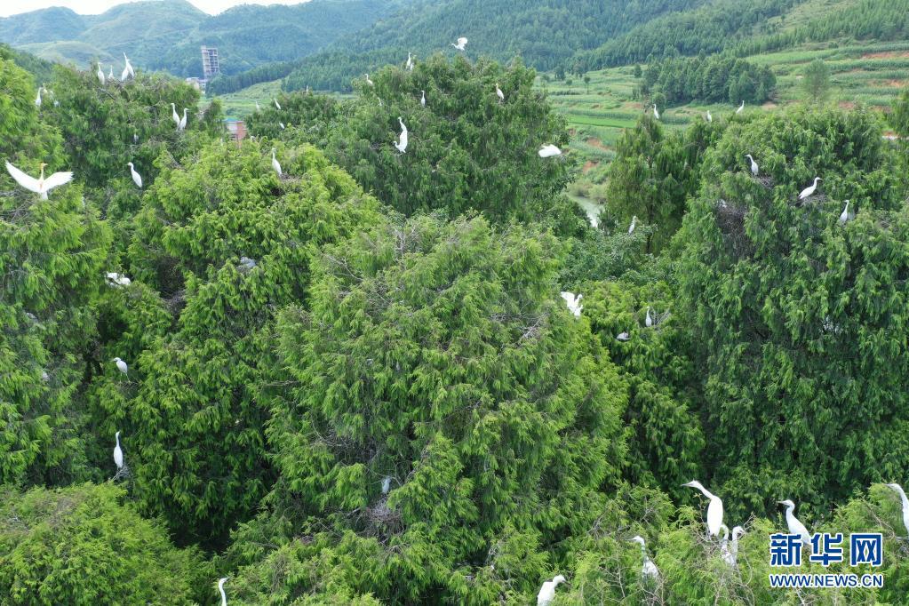 点赞!贵州岑巩渐成珍稀鸟类栖息地