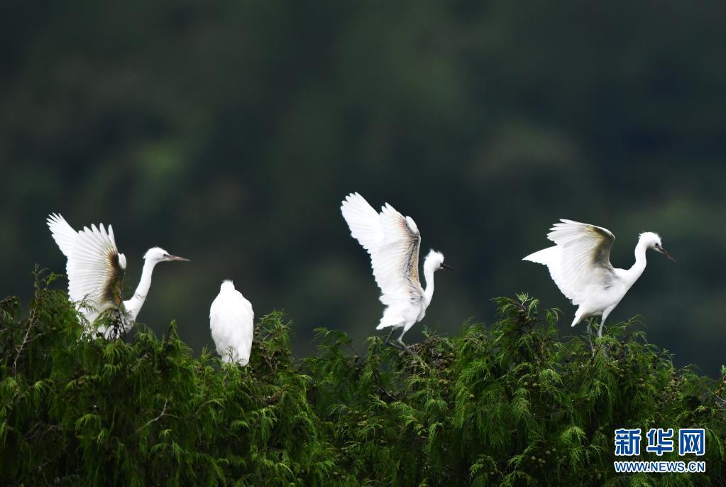点赞!贵州龙里:鹭舞乡村生态美