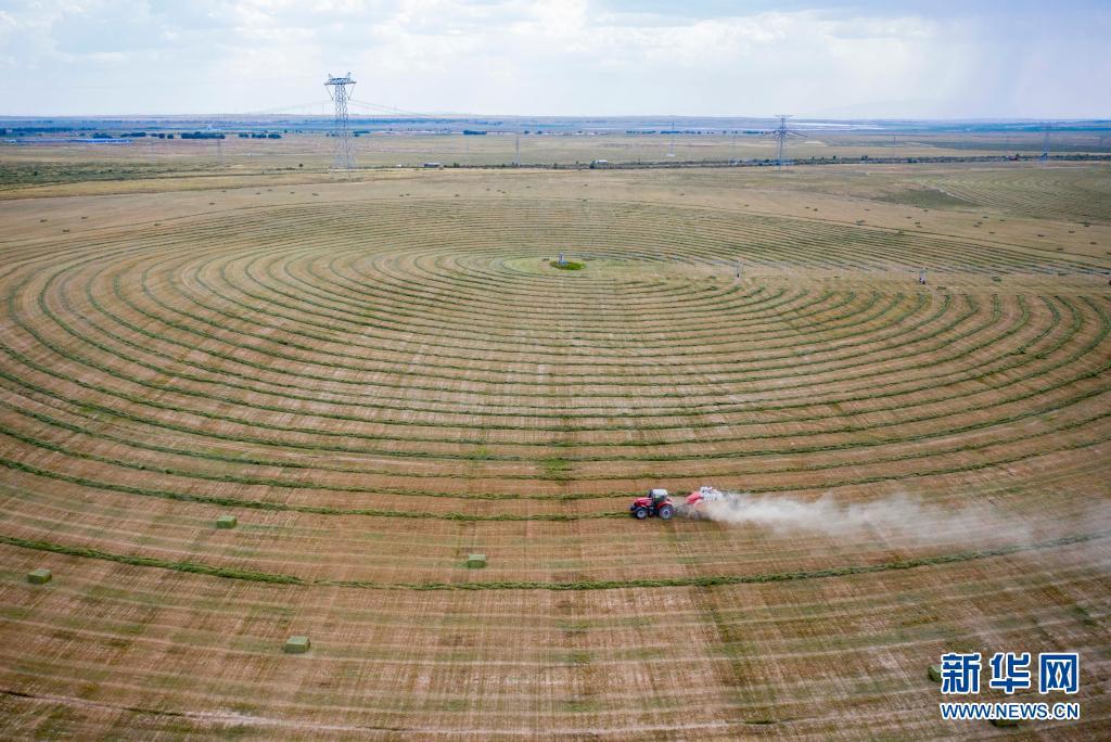 宁夏盐池:牧草进入收割期