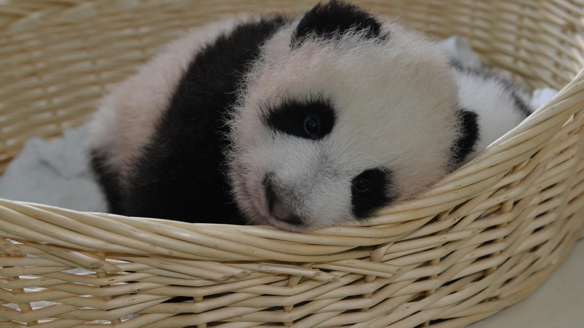 图片记录大熊猫宝宝百变萌态