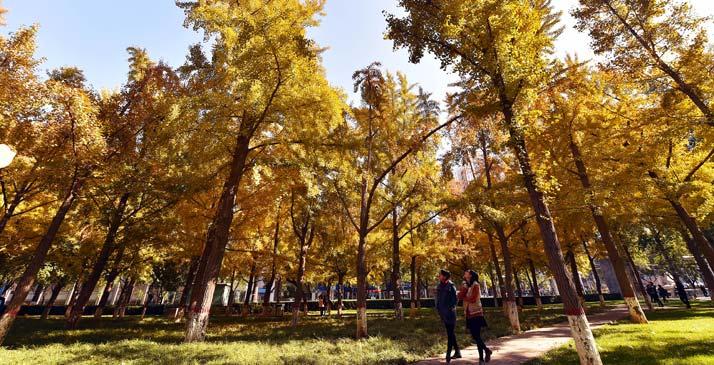 銀杏林中尋找秋的色彩