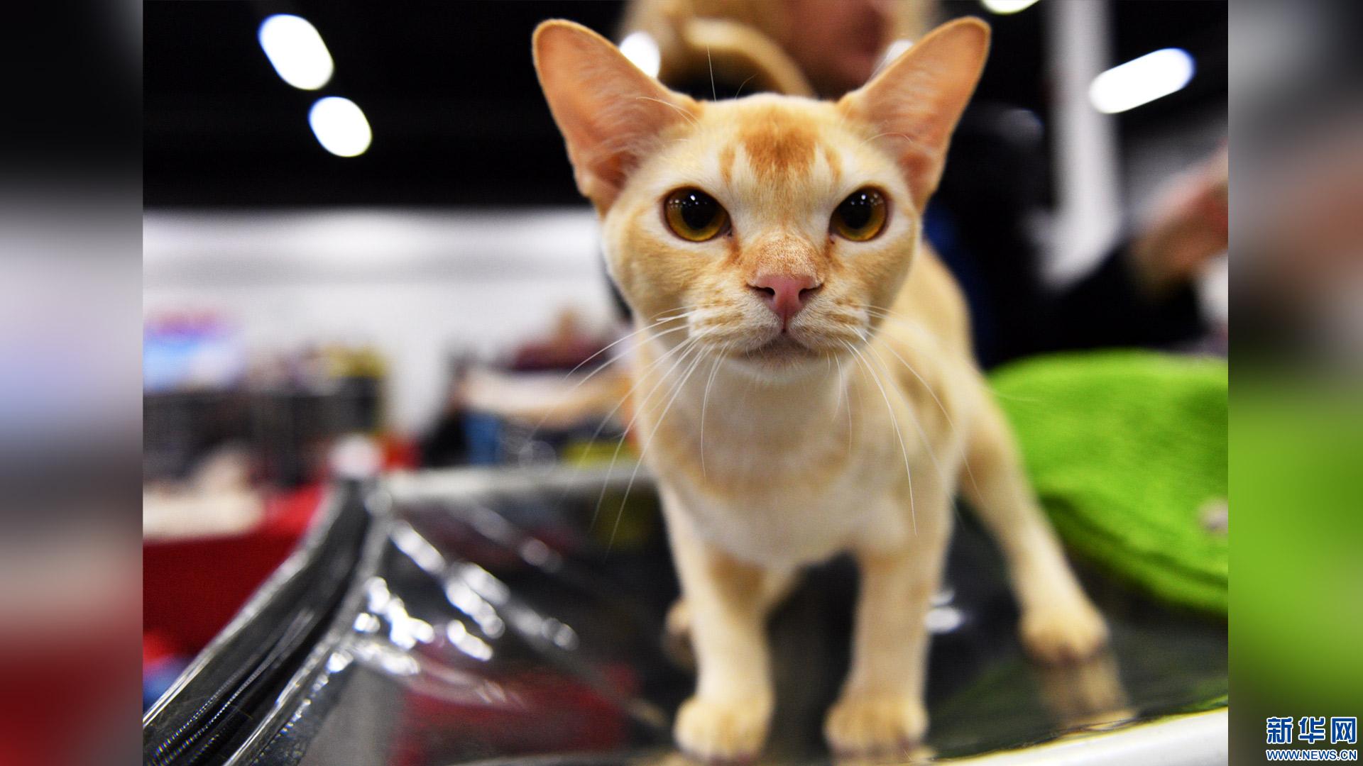 """围观可爱""""喵星人"""":图片直击莫斯科国际猫展"""