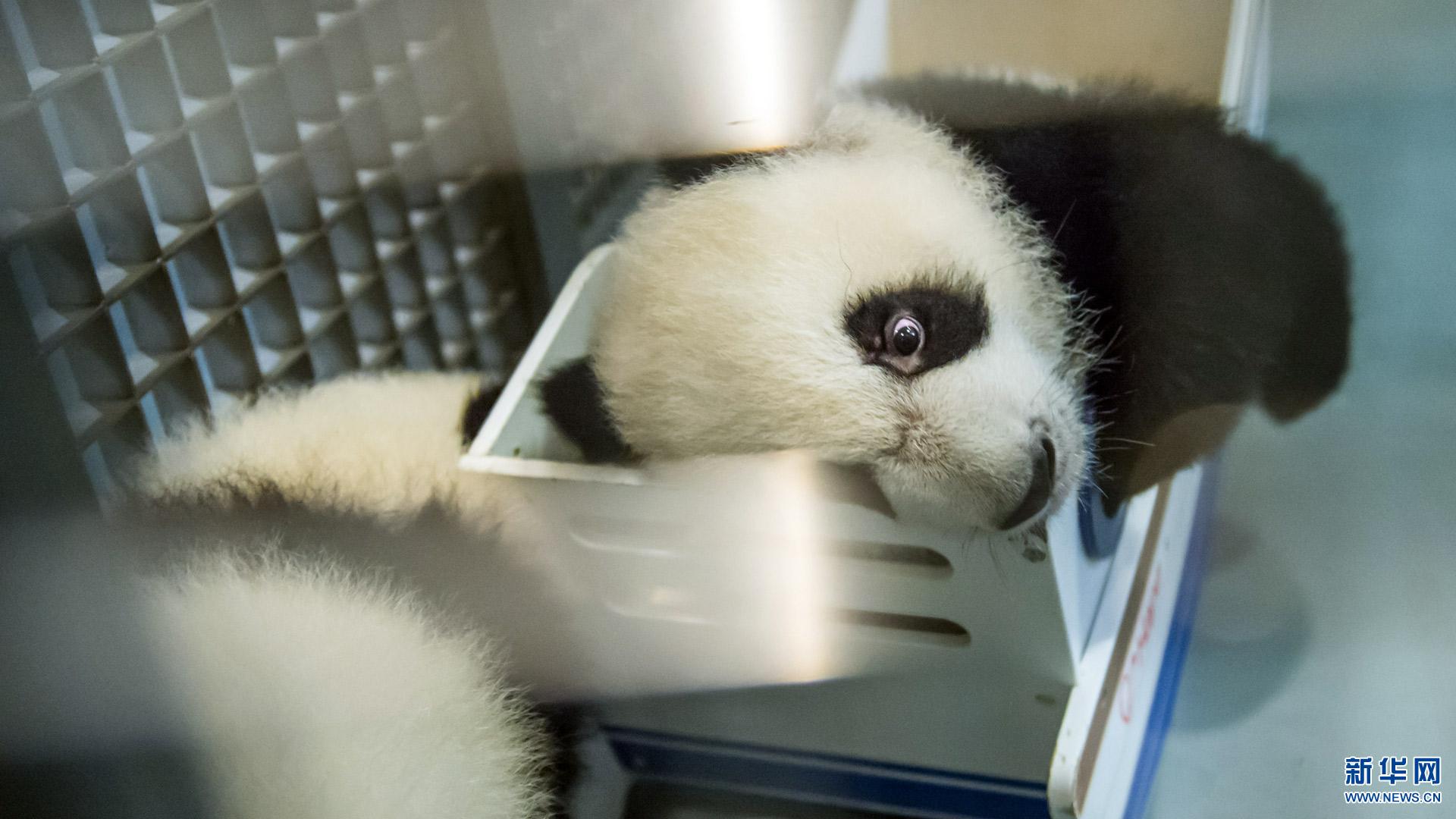 萌萌哒12017熊猫大拜年! - 人在上海 - 中国映像博物馆