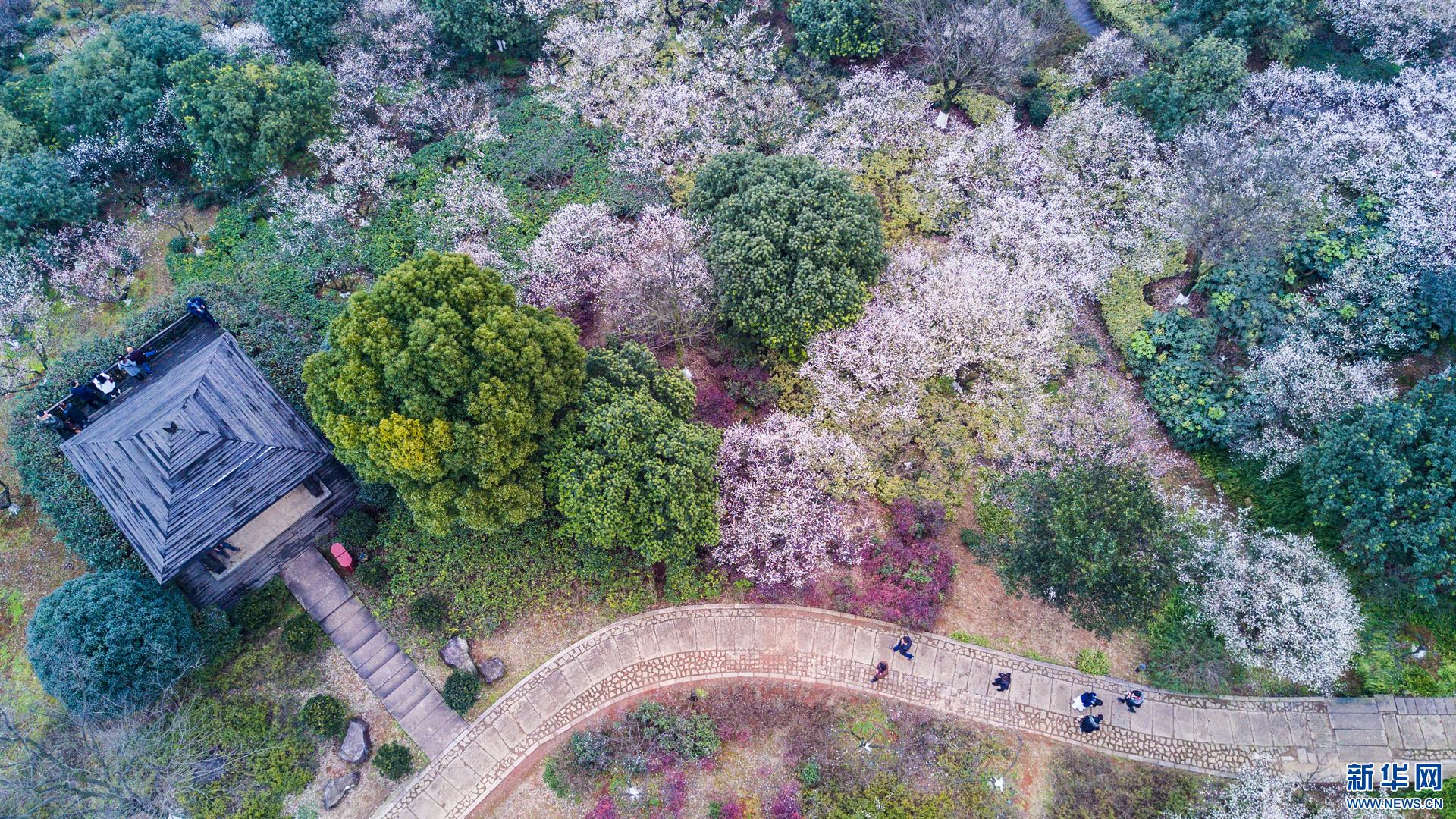 立春前后,浙江省杭州市余杭区超山风景区5万多株梅花迎来了最佳观赏期