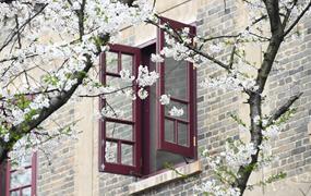 武漢大學:櫻花引客來