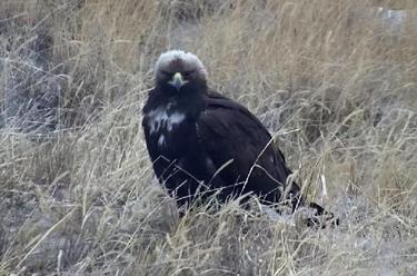 國家一級保護動物金雕現身吉林向海自然保護區