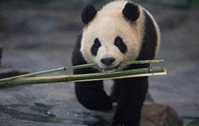 8只大熊貓安家鳳凰