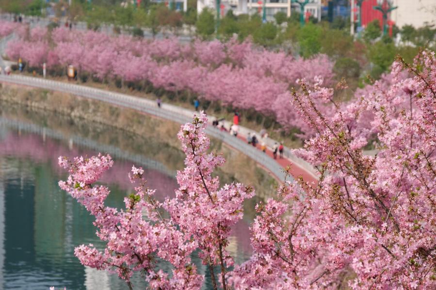 貴州錦屏:櫻花盛開春意濃