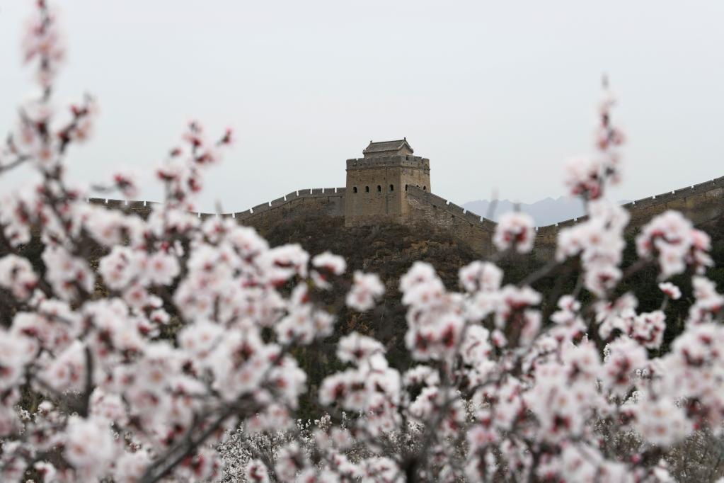 春到長城 山花爛漫